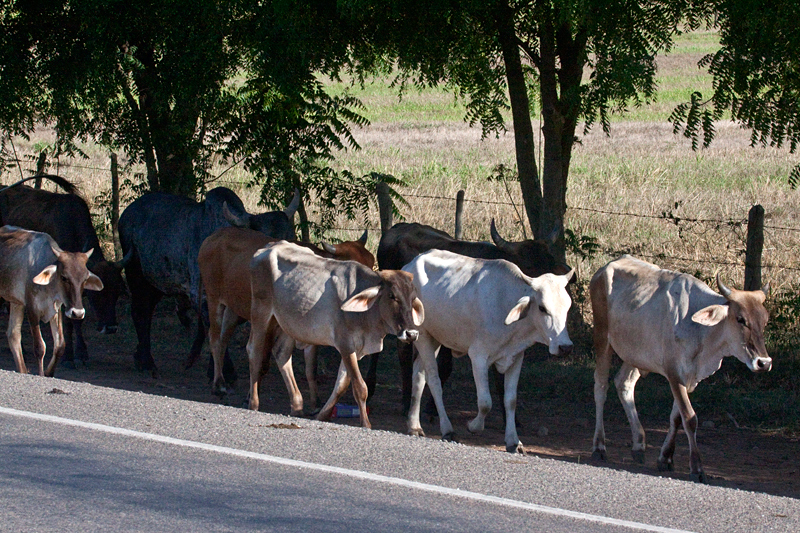 Cattle on the Road to Olanchito, Honduras