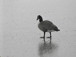 Canada Goose Walking on Ice - January 1, 1997