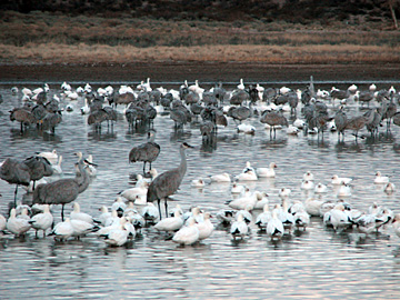 Sandhill Cranes, Snow Geese, and maybe a Ross's Goose or two at Bosque del Apache NWR, New Mexico