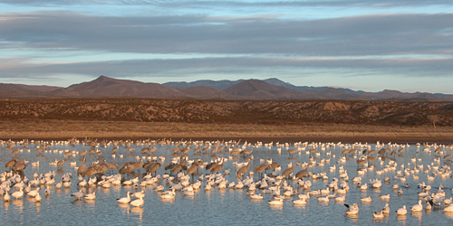 Snow Geese and Sandhill Cranes - Bosque del Apache NWR, New Mexico