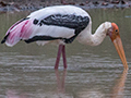 Painted Stork, Sri Lanka