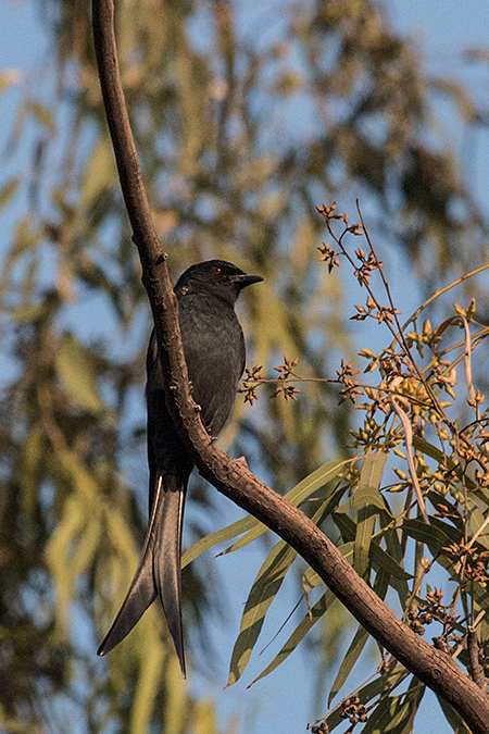 Ashy Drongo, Ashok Country Resort, New Delhi, India