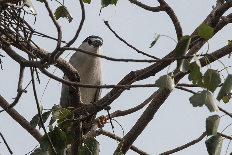 Adult Black-crowned Night-Heron, en Route to Yala National Park, Sri Lanka