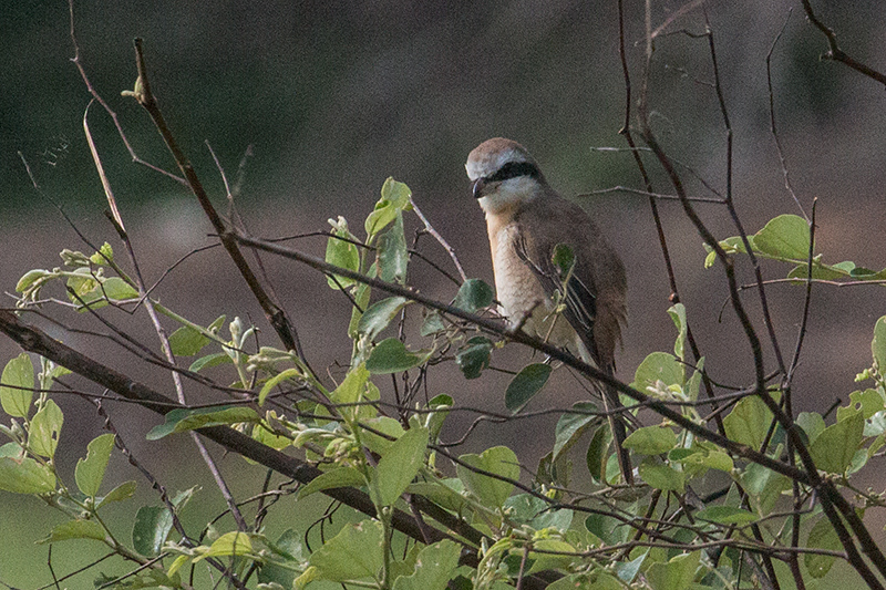 Brown Shrike, Yala National Park, Sri Lanka