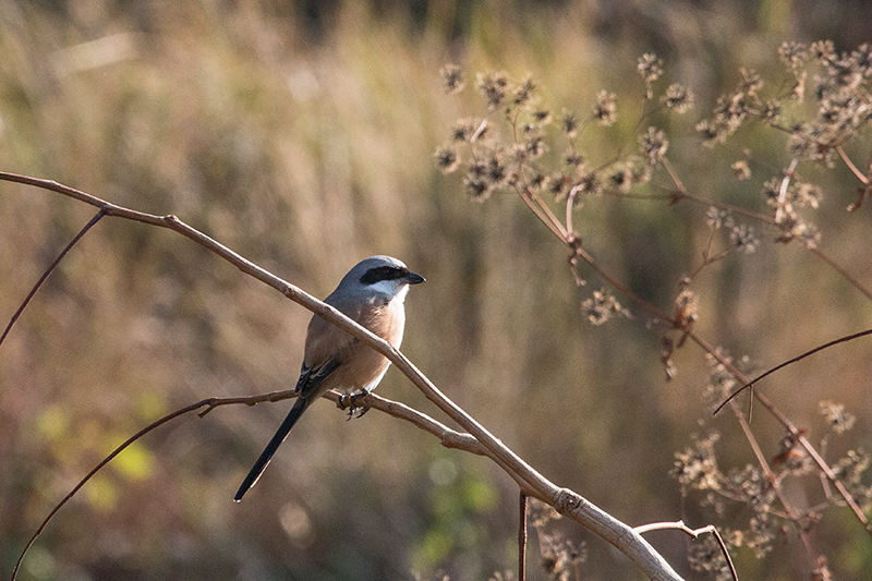 Long-tailed Shrike, Drive From Pangot to Corbett National Park, India