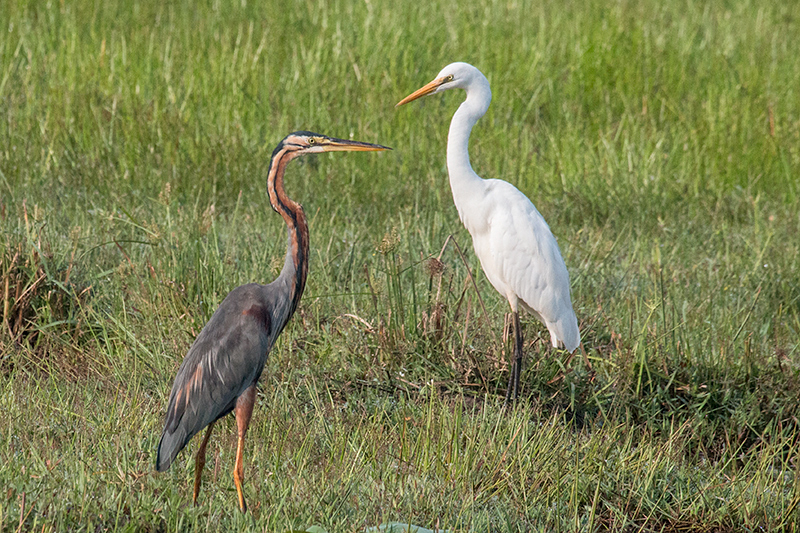 Purple Heron with Great Egret, Thalangama Lake and Road, Colombo, Sri Lanka