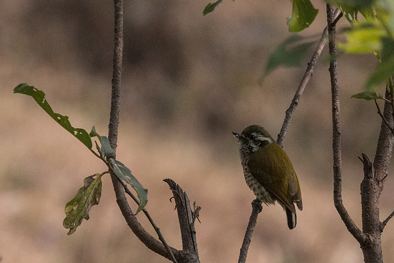 Speckled Piculet, Timla Pan, India