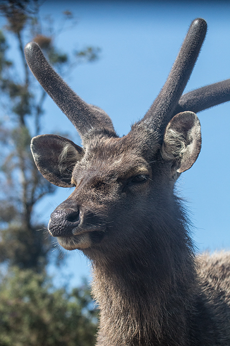 Sambar Deer, Horton Plains National Park, Sri Lanka