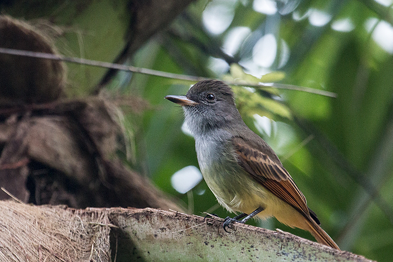 Rufous-tailed Flycatcher, A Jamaican Endemic, Ecclesdown Road, Jamaica