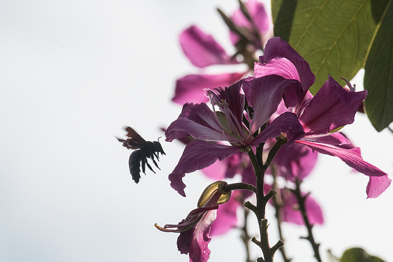Bee at Magenta Flower, Emancipation Park, Kingston, Jamaica