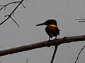 American Pygmy Kingfisher, Summit Ponds, Panama