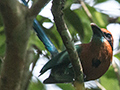 Broad-billed Motmot, Pipeline Road, Panama