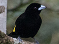 Flame-rumped Tanager (Lemon-rumped Tanager), Canopy Lodge, Panama