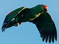 Red-lored Parrot, Tranquilo Bay Lodge, Bastimentos Island, Panama