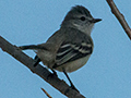 Southern Beardless-Tyrannulet, Anton Dry Forest, Panama