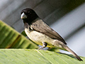 Yellow-bellied Seedeater, Gamboa, Panama