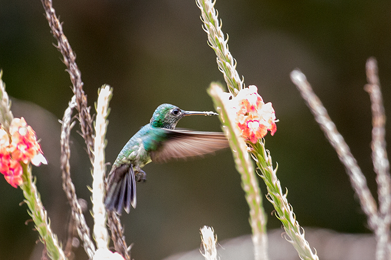 Blue-chested Hummingbird, Tranquilo Bay Lodge, Bastimentos Island, Panama by Richard L. Becker
