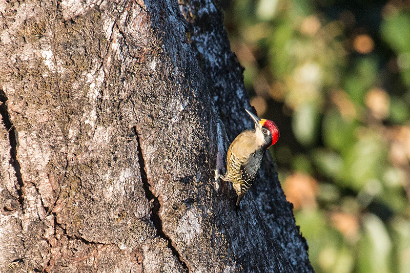 Black-cheeked Woodpecker, Tranquilo Bay Lodge, Bastimentos Island, Panama