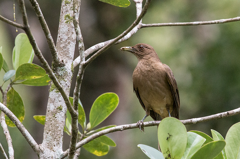 Clay-colored Thrush, Canopy Lodge, Panama