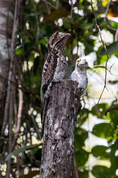 Great Potoo With Nestling, Pipeline Road, Panama