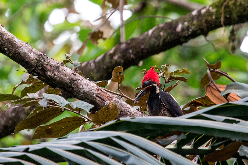 Lineated Woodpecker, Tranquilo Bay Lodge, Bastimentos Island, Panama