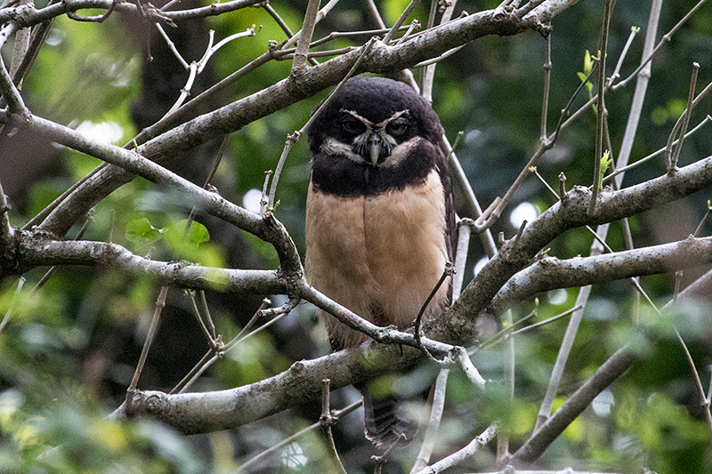 Spectacled Owl, Hannibel's, Panama