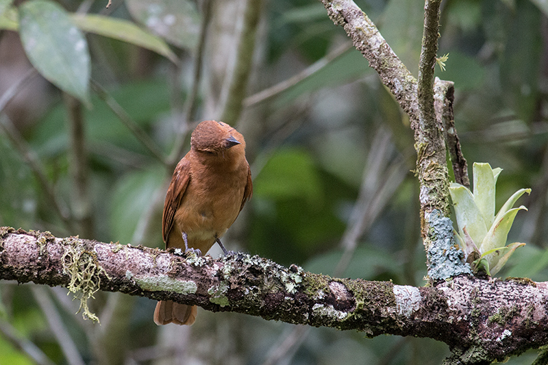 Female White-lined Tanager, The Harrisons' Feeders, Cerro Azul, Panama by Richard L. Becker