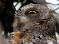 African Scops-Owl, Kruger National Park, South Africa