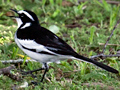 African Pied Wagtail, South Africa