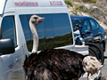 Roadside Ostrich, Cape Point, Table Mountain National Park, South Africa