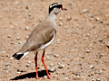 Crowned Lapwing (Crowned Plover), Kgomo Kgomo Floodplain, South Africa