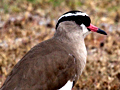Crowned Lapwing (Crowned Plover), South Africa