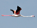Greater Flamingo, South Africa