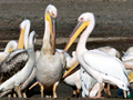 Great White Pelican, South Africa