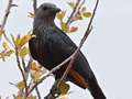 Red-winged Starling, Kruger National Park, South Africa
