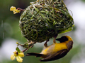 Nesting Southern Masked Weaver