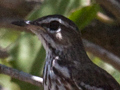 White-browed Scrub Robin (Red-backed Scrub-Robin), South Africa