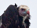 White-headed Vulture, Kruger National Park, South Africa