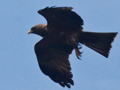 Yellow-billed Kite (Black Kite), South Africa