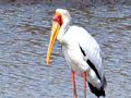 Yellow-billed Stork, Kruger National Park, South Africa