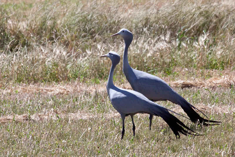 Blue Crane, Western Cape, South Africa
