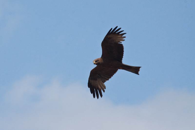 Black Kite, Letaba Rest Camp, Kruger National Park, South Africa