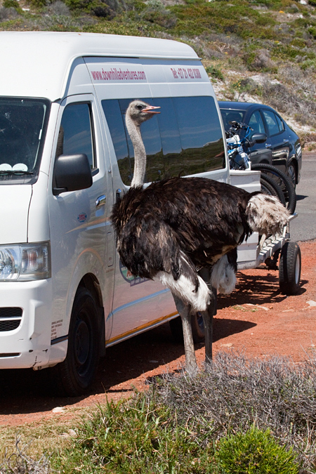 Common Ostrich, Cape Point, Table Mountain National Park, South Africa