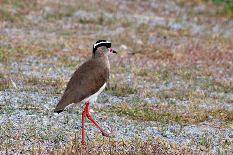 Crowned Lapwing (Crowned Plover), West Cape Wetlands, South Africa