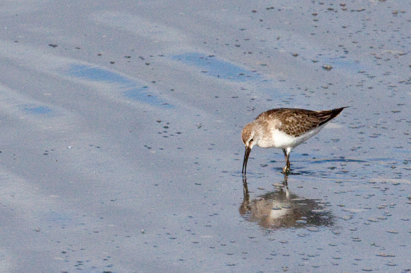 Curlew Sandpiper, Velddrif Salt Works, South Africa