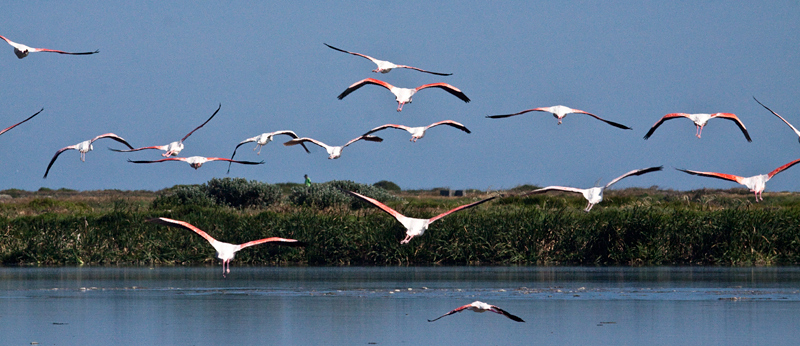 Greater Flamingo, Strandfontein Sewage Works and Rondevlei Nature Reserve, South Africa