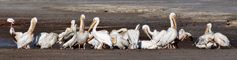 Great White Pelican, Velddrif Salt Works, South Africa