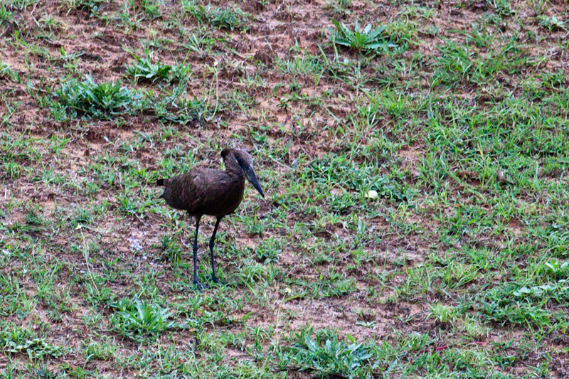 Hamerkop, Umhlanga Waste Water Treatment Works, South Africa