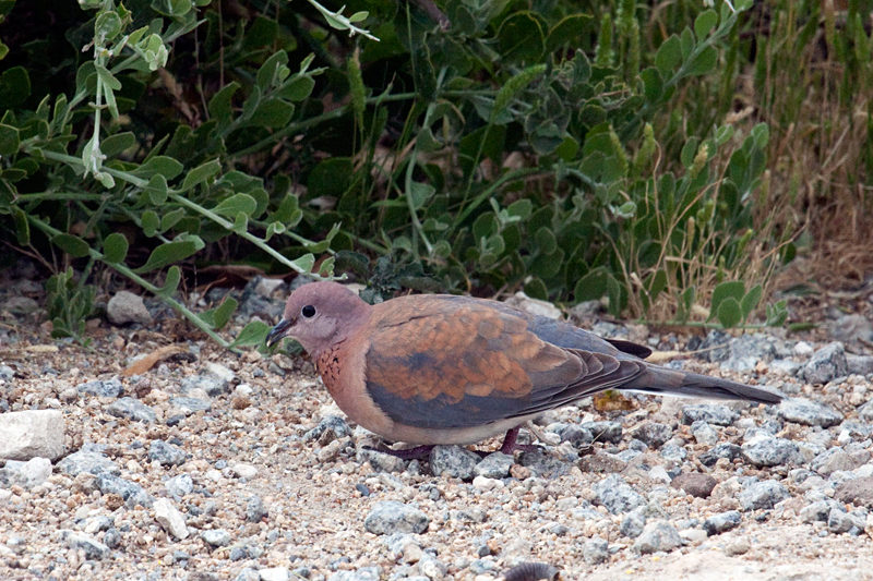 Laughing Dove, West Cape Wetlands, South Africa
