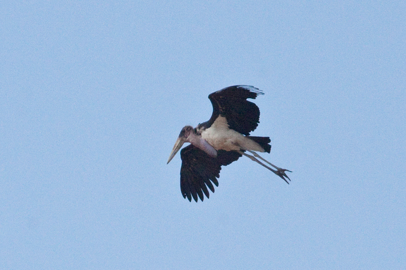 Marabou Stork, Letaba Rest Camp, Kruger National Park, South Africa